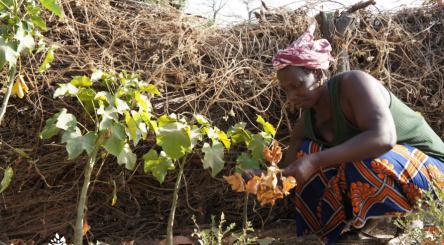 agroforesterie, plantation, changement climatique, carbone, climat
